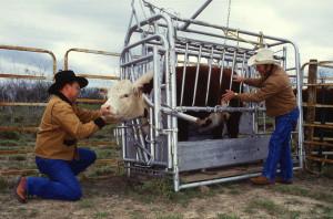 Cattle_inspected_for_ticks